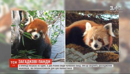 Вчені з'ясували, що у природі мешкає не один, а два різних види червоних панд