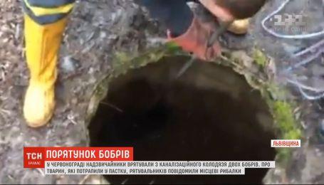 У Львівській області рятувальники діставали з каналізаційного колодязя двох бобрів