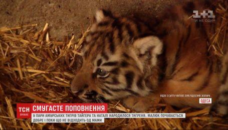 У амурских тигров одесского зоопарка родился малыш