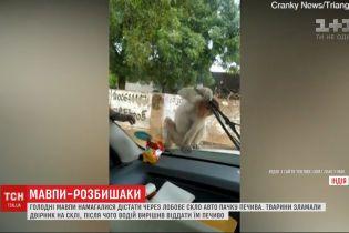 Мавпи, які намагалися поцупити їжу крізь скло автомобіля, стали зірками інтернету
