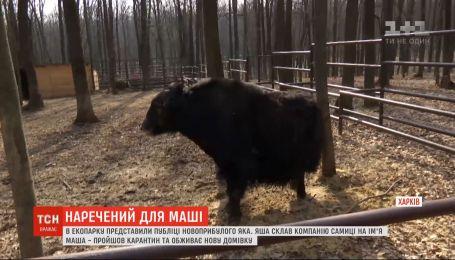 Жених для Маши: в харьковском экопарке публике представили огромного яка