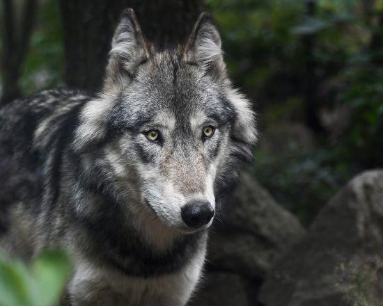 У Кіровоградській області жителів двох сіл тероризують вовки
