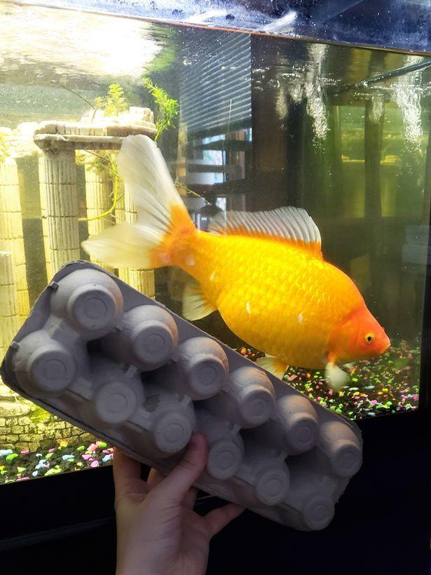 рибка гігант 2