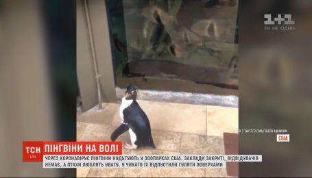 Пінгвіни нудьгують: у зоопарку США через карантин немає відвідувачів