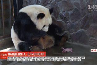 Панденята-близнюки народилися у провінції Сичуань