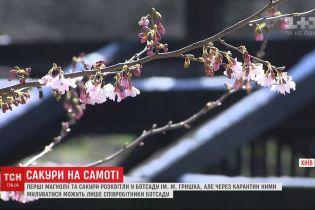 Сакури на самоті: у ботсаду імені Гришка зацвіли екзотичні для України дерева