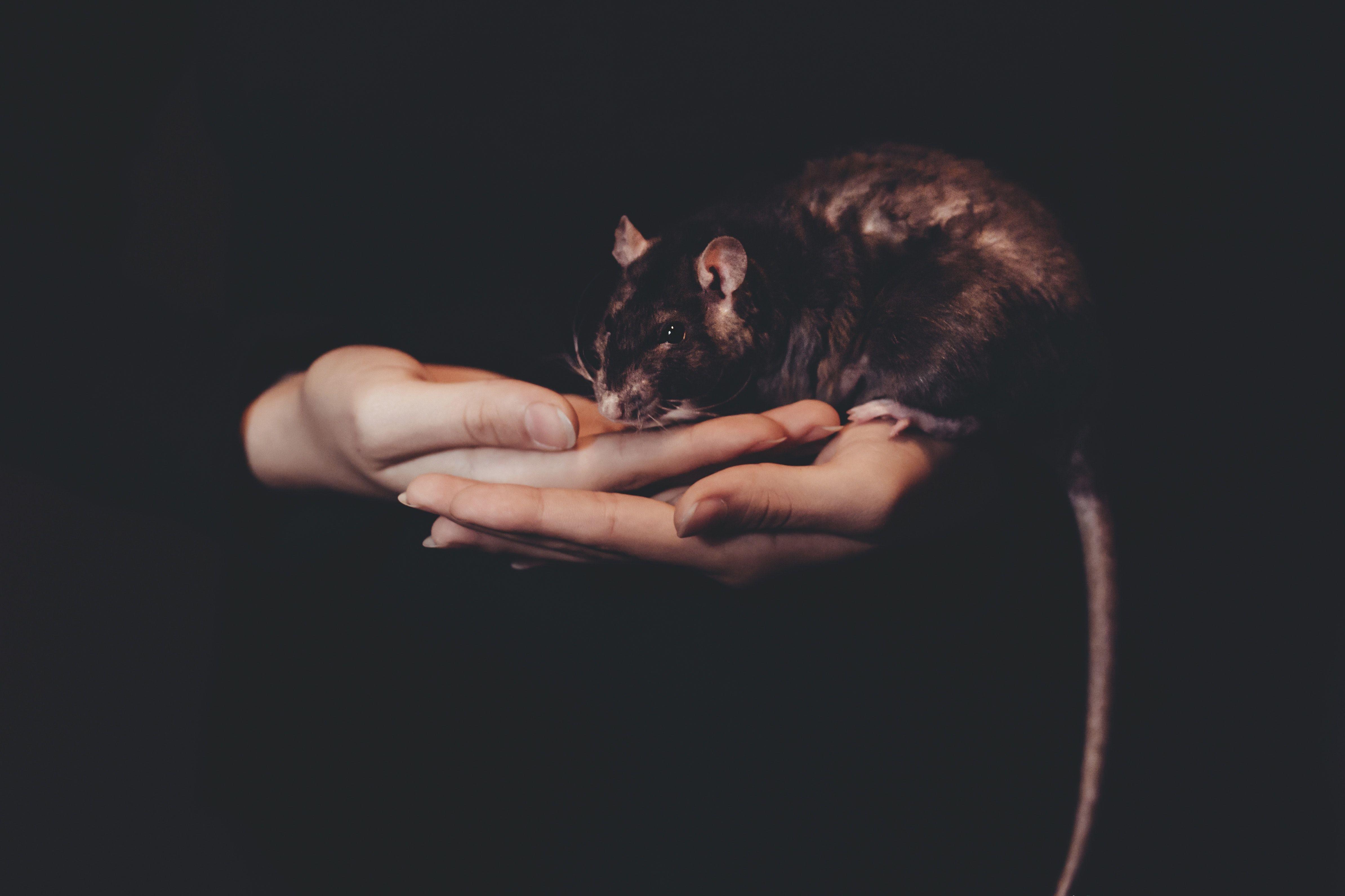 Пацюк, щур