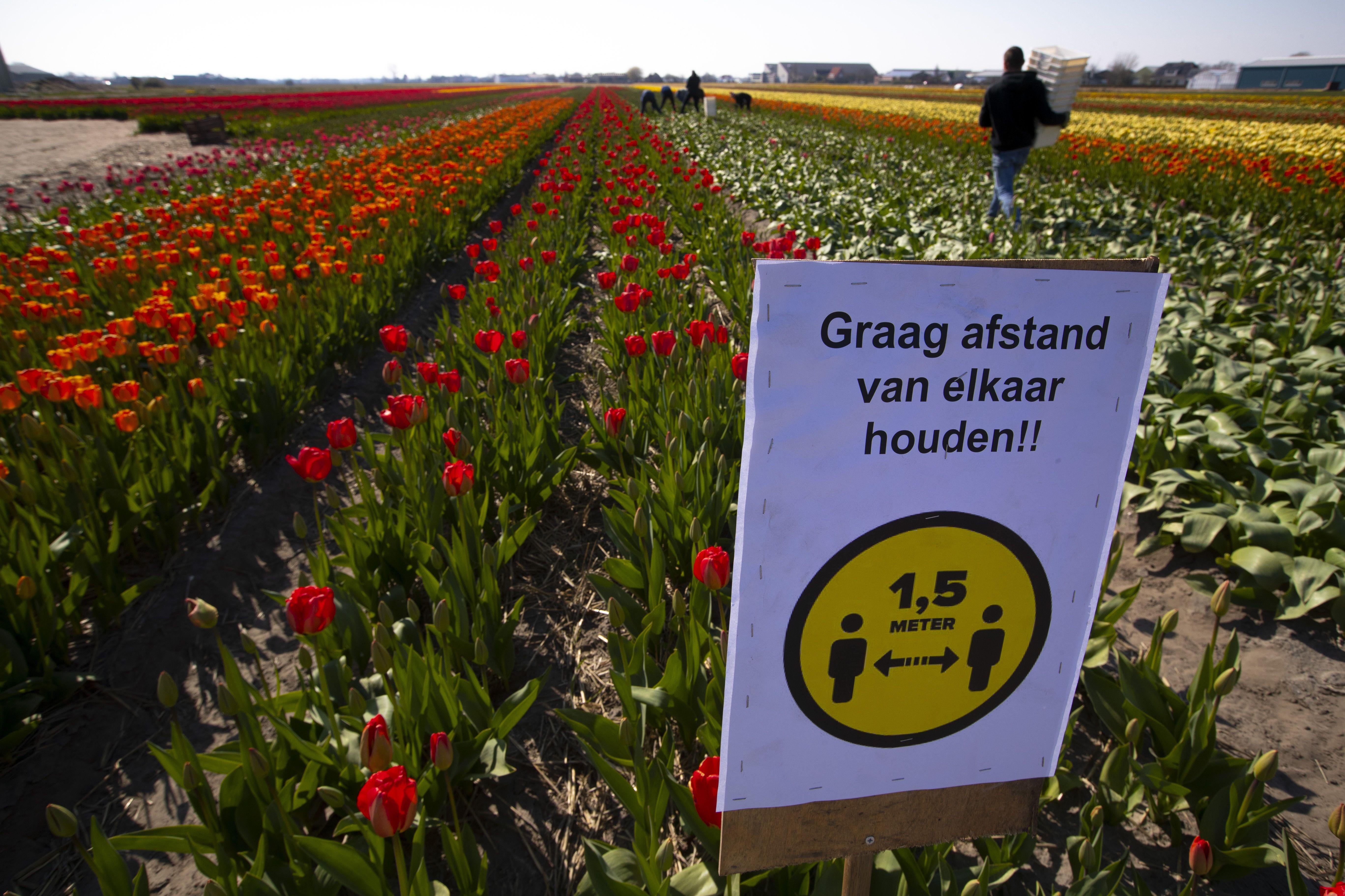 Коронавірус в Нідерландах. Квіти