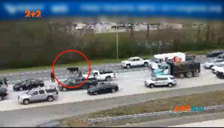 Корова заблокировала движение по скоростному шоссе в Вирджинии