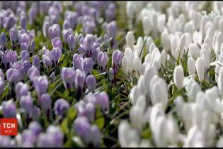 У Нідерландах королівський парк квітів проведе фестиваль тюльпанів в онлайн режимі