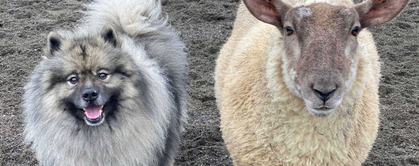 """""""Гавкає"""" і кусає: У Британії знайшли вівцю, яка почувається собакою і дружить з іншими псами"""
