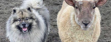 """""""Лает и кусает: В Британии нашли овцу, которая чувствует себя собакой и дружит с другими псами"""