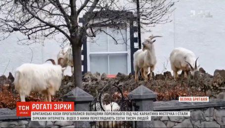 Британські кози прогулялися порожніми під час карантину вулицями і стали зірками інтернету