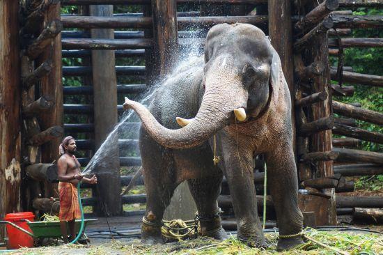 Через пандемію коронавірусу тисячам слонів у Таїланді може загрожувати голодна смерть