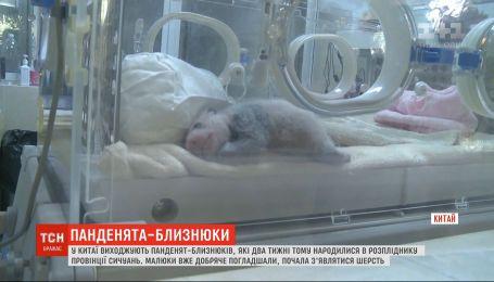 У Сичуані зоологи виходжують панденять-блязнюків, які народились 2 тижні тому