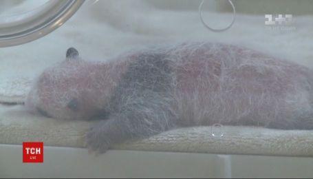 Увесь Китай стежить за долею панденят-близнюків, яких виходжують зоологи провінції Сичуань