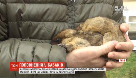 Двое малышей родилось в семье львовских народных сурков-синоптиков