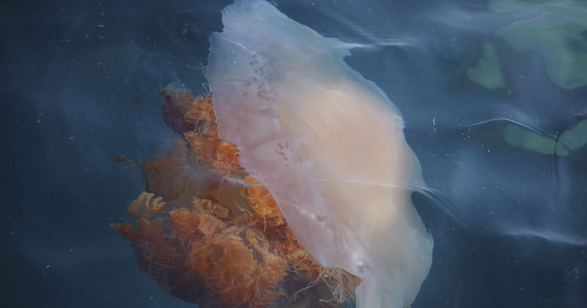 В Бердянске зафиксировали огромный остров медуз: видео