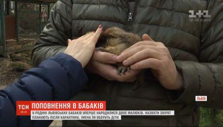 Поповнення у родині львівських бабаків: у народних синоптиків народилося двоє малюків