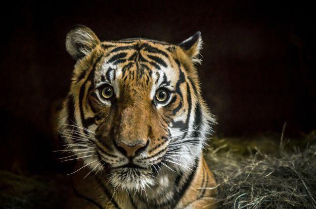 В Техасі за зловили бенгальского тигра, який тиждень блукав містом
