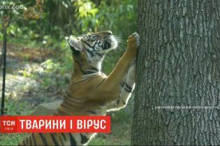 Одразу кілька тигрів та левів у зоопарку Нью-Йорка захворіли на коронавірус