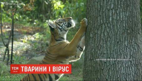 Сразу несколько тигров и львов в зоопарке Нью-Йорка заболели коронавирусом