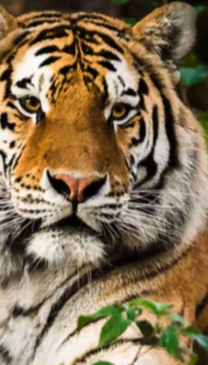 Малайська тигриця захворіла на коронавірус: чи страшна хвороба для тварин