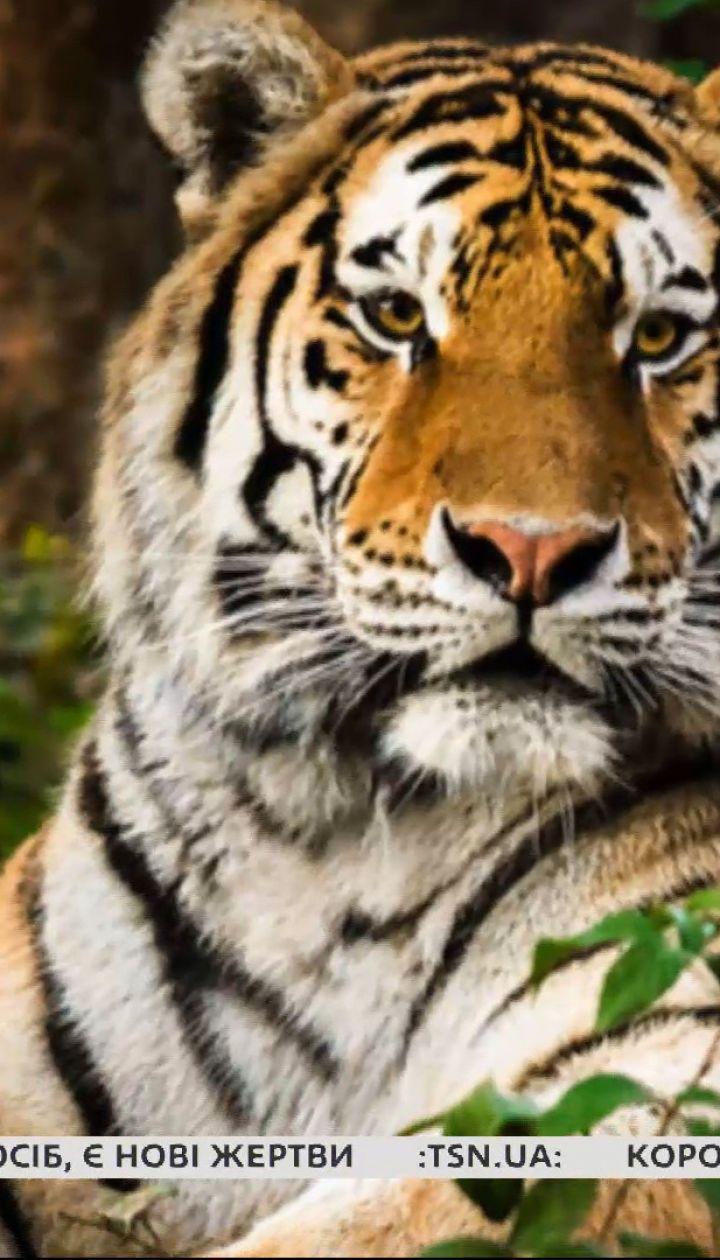Малайский тигрица заболела коронавирусом: страшна ли болезнь животным