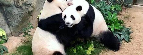 Карантин допоміг: у Гонконгу панди спарувалися вперше за 10 років спроб персоналу звести їх