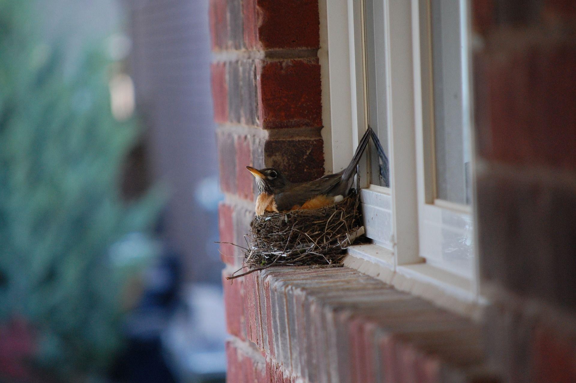 Пташка Робін, гніздо