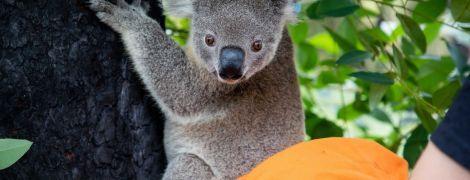 Пострадавших в пожарах в Австралии коал возвращают домой в дикую природу