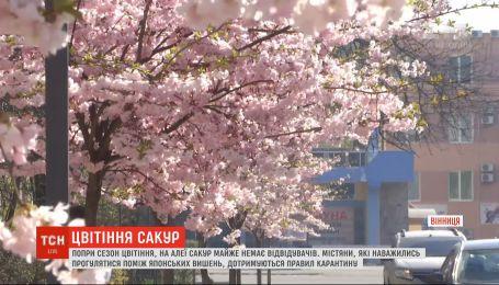 """Розовое цветение в """"карантинном"""" городе: в Виннице расцвела аллея сакур"""