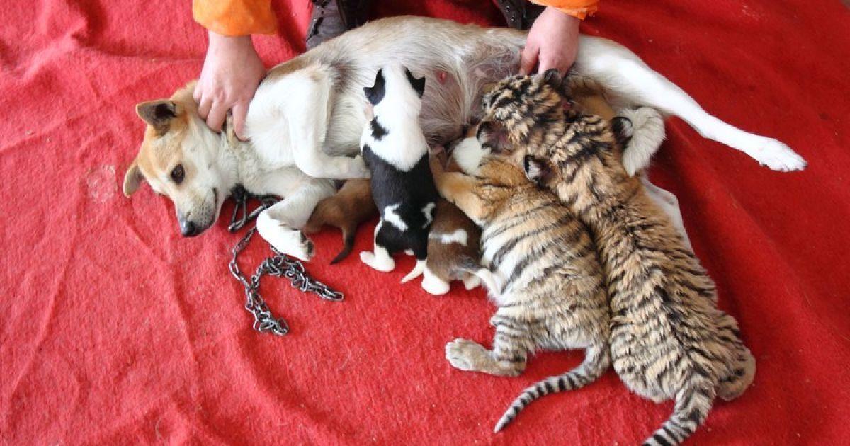 Собака приняла тигрят за своих детей @ Правда.if.ua