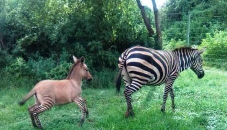 У Кенії показали унікальне дитинча - гібрид зебри та віслюка