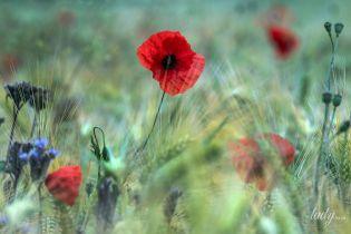 Чарівний букет: 7 українських рослин-оберегів
