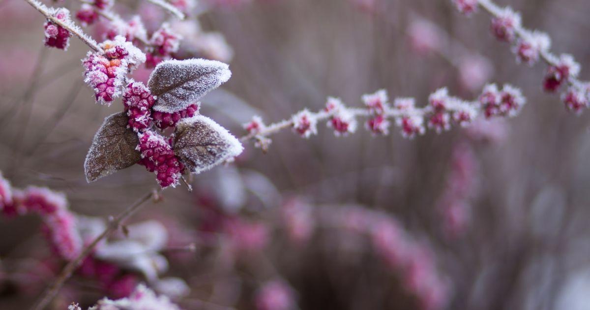 В Сумах выпал снег, а заморозки повредили завязки плодов: урожай оказался под угрозой