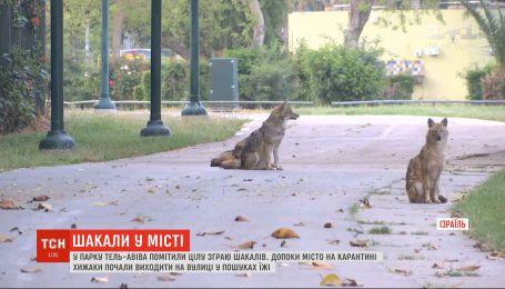 Нічні полювання: у парку в Тель-Авіві помітили зграю шакалів
