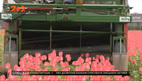В Нидерландах фермеры вынуждены срезать тюльпаны из-за того, что люди нарушают правила карантина