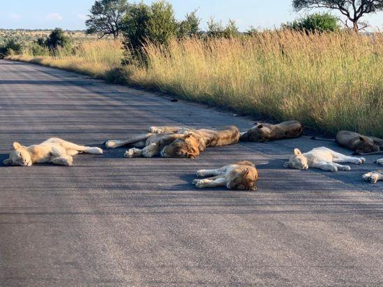 У парку Південної Африки сфотографували рідкісне явище: леви на карантині позасинали вдень просто на дорозі