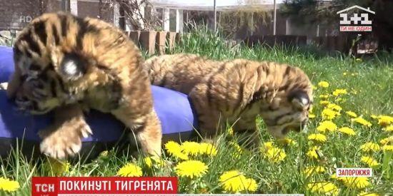 У Мелітопольському зоопарку тигриця відмовилась від двох новонароджених тигренят