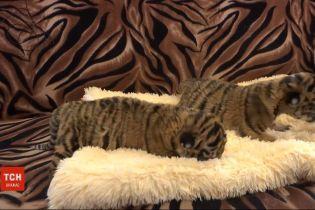 У мелітопольскому зоопарку рятують двох тигренят, від яких відмовилась мати