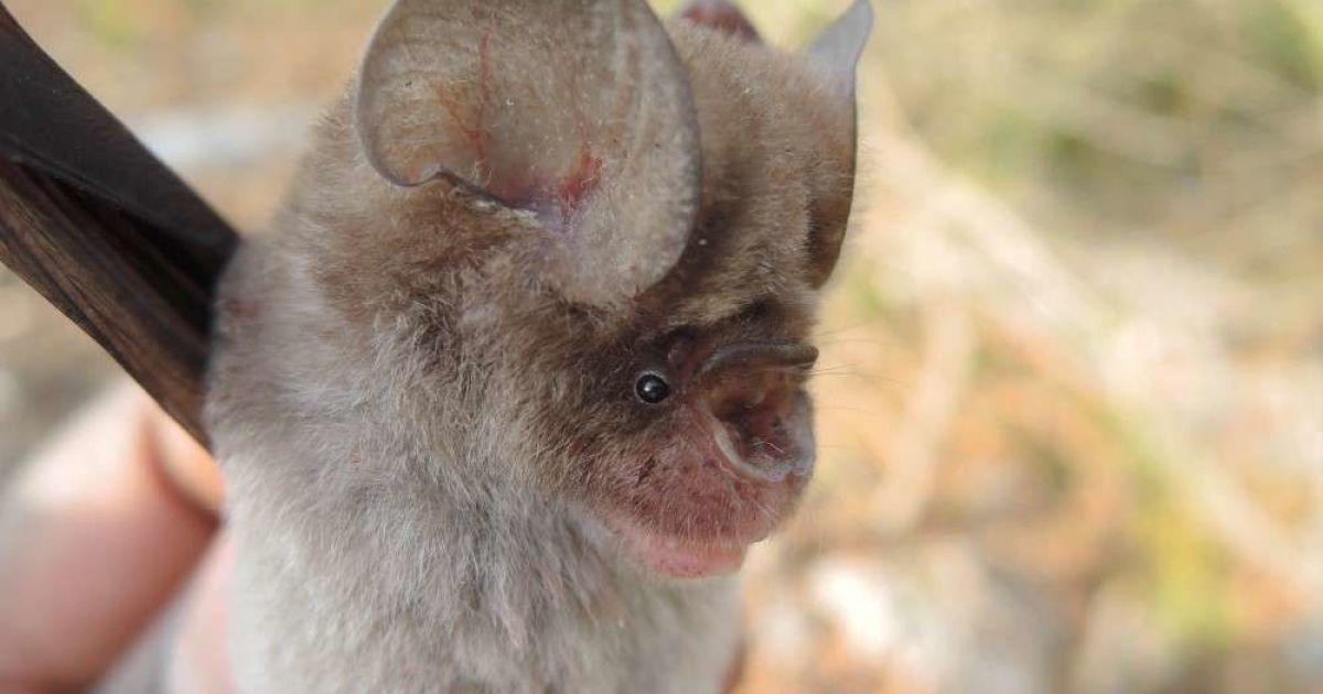 Родичі кажанів-поширювачів COVID-19: вчені знайшли чотири нових види ссавців