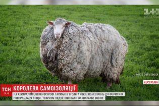 Після 7 років поневірянь на острові Тасманія до фермерів повернулася вівця