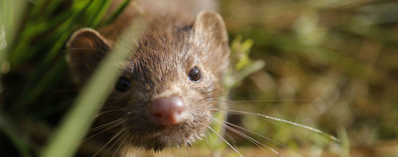 """У Данії перепросили за наказ """"якомога швидше"""" знищити всю популяцію норок через коронавірус"""