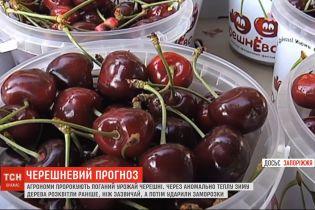 Весенние мороз: плоды черешни вряд ли порадуют украинском этого года