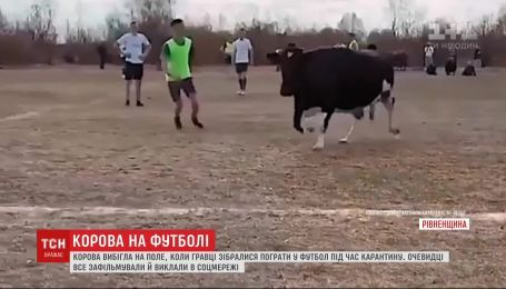 Хотіла поганяти м'яча: як корова завадила футбольному матчу