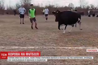 Хотела погонять мяч: как корова помешала футбольному матчу