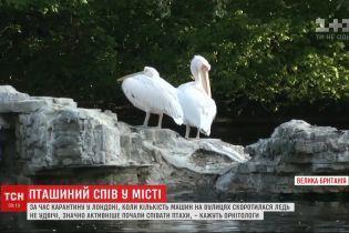 В Лондоне тишина и песни: из-за карантина птицы в городе начали петь громче