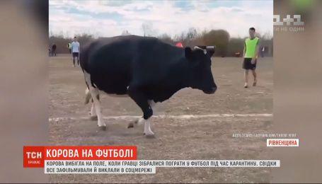 Корова выбежала на поле, когда игроки собрались поиграть в футбол во время карантина