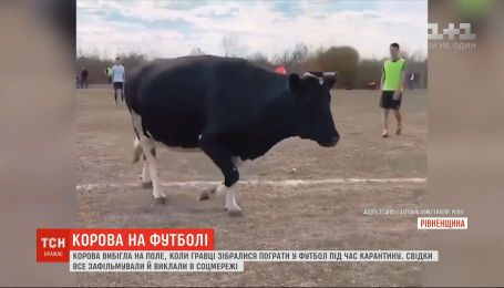 Корова вибігла на поле, коли гравці зібралися пограти у футбол під час карантину